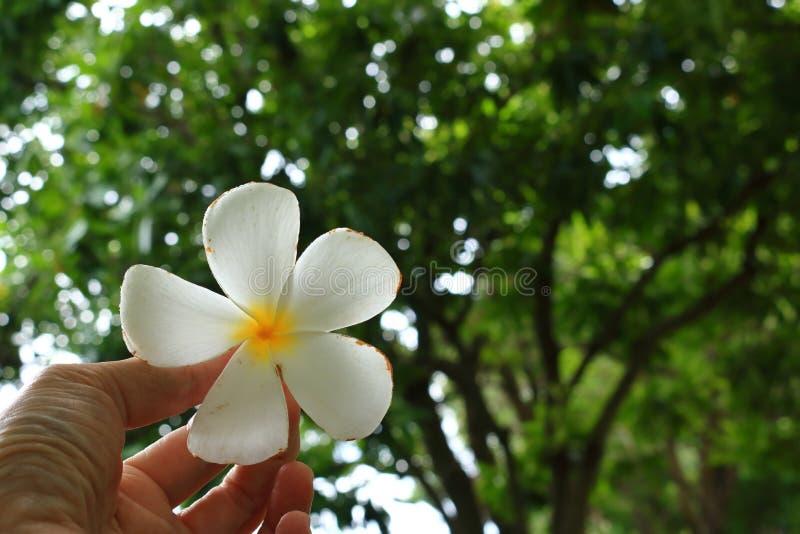 Fleur tombée de plumeria à disposition image libre de droits