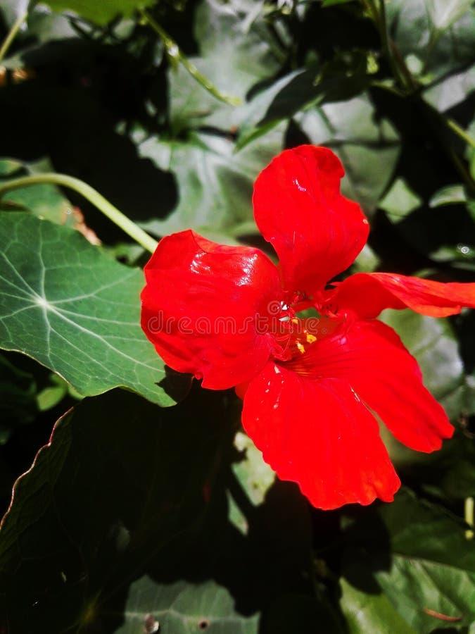 Fleur toujours rouge photo stock