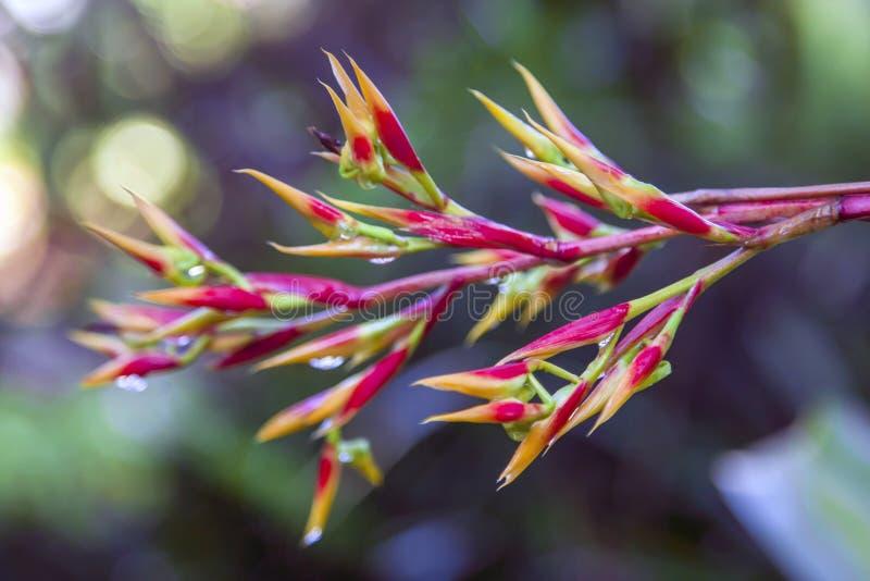 Fleur tropicale colorée - Heliconia image libre de droits