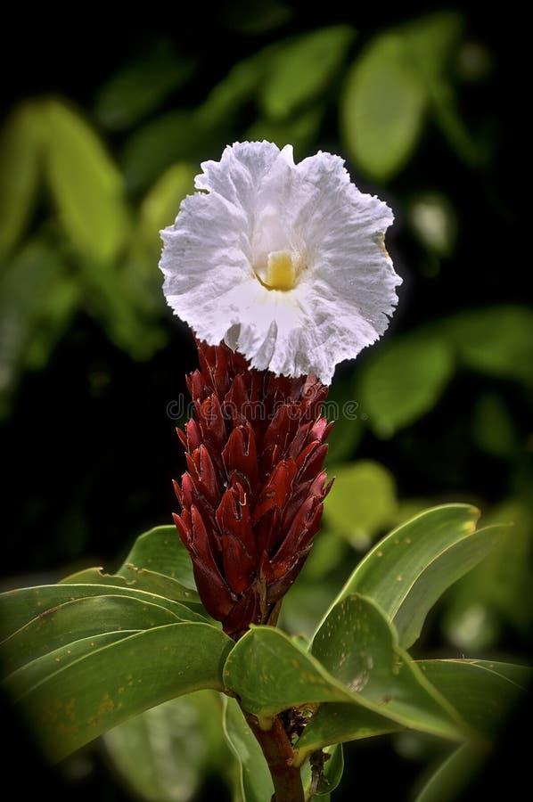 Fleur tropicale de gingembre avec une fleur blanche photo stock