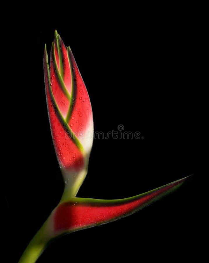 Fleur tropicale de Heliconia photographie stock libre de droits