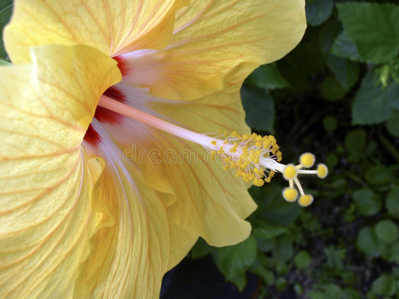 Fleur tropicale jaune photos stock