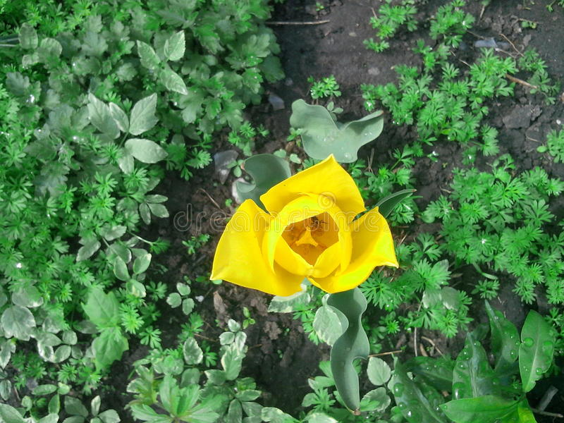 Fleur tulpan image stock