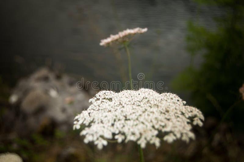 Fleur typique de la région des Asturies, Espagne photos libres de droits