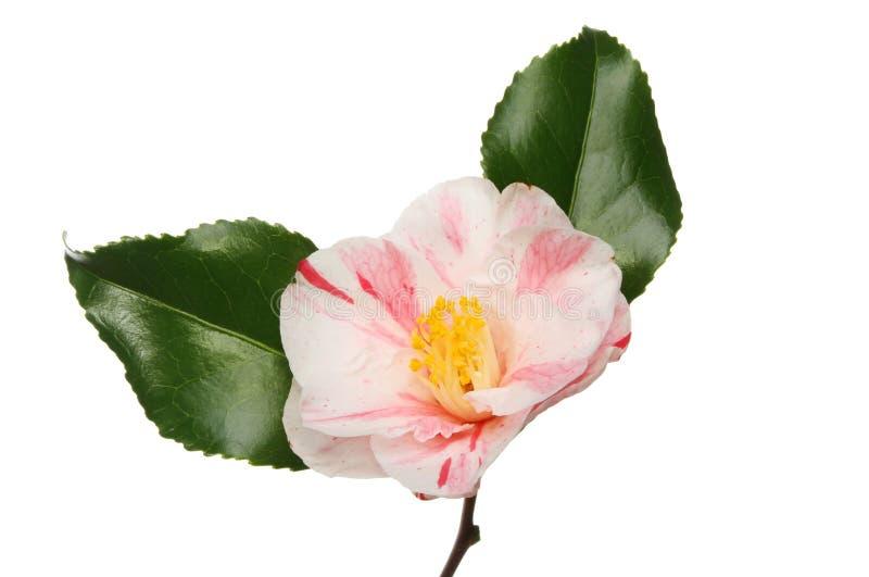 Fleur variée de camélia images stock