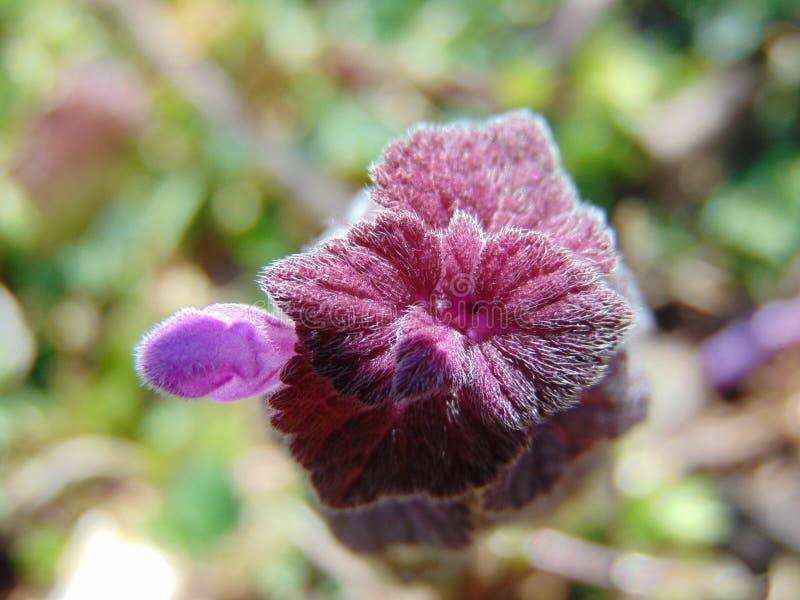 Fleur velue en effet photos stock
