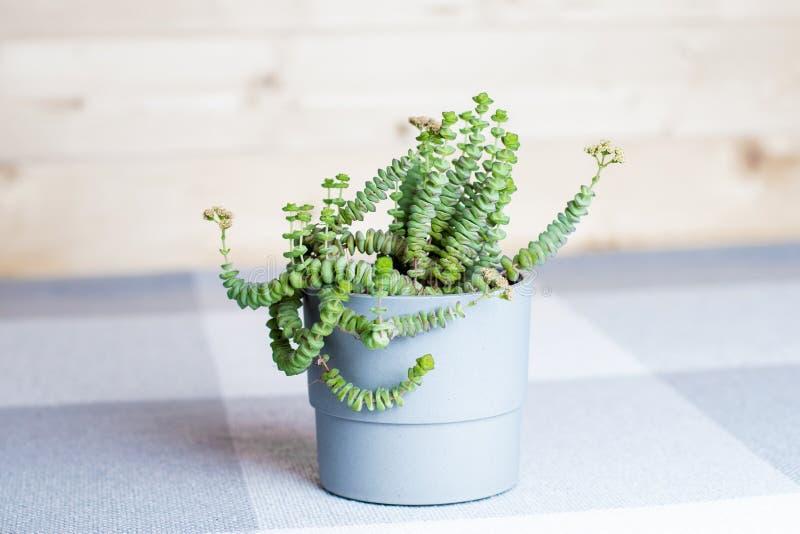 Fleur verte, Crassula Nealeana, usine succulente rare dans un pot gris, concept à la maison de décoration intérieure, fond simple photos stock