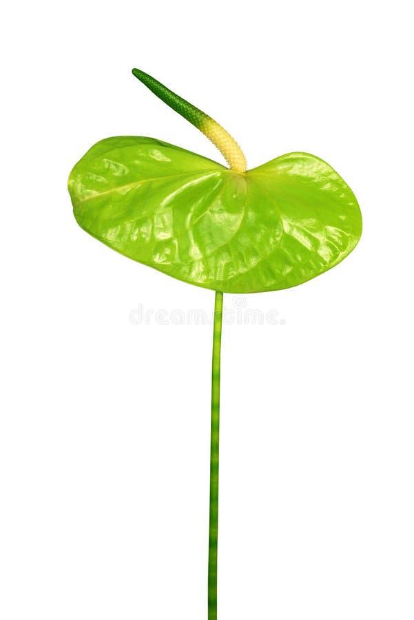 Fleur verte d'anthure photos stock