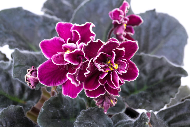 Fleur, violette images libres de droits