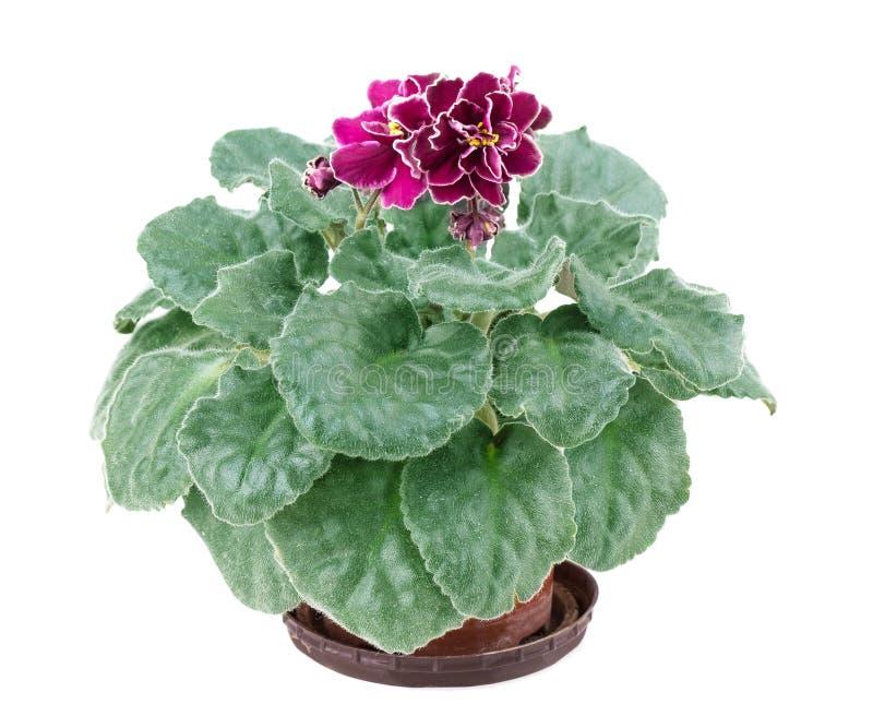 Fleur, violette photo libre de droits