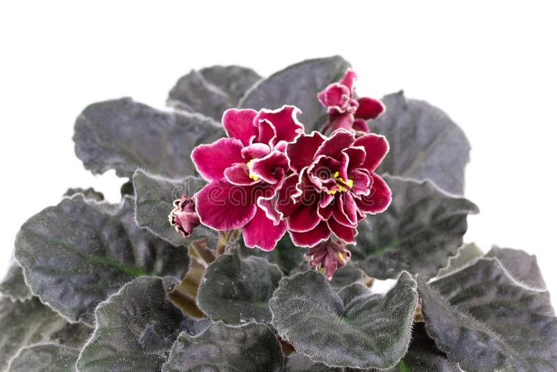 Fleur, violette images stock