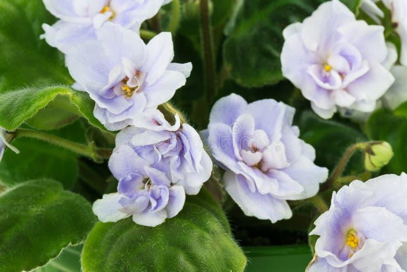 Fleur violette photos libres de droits