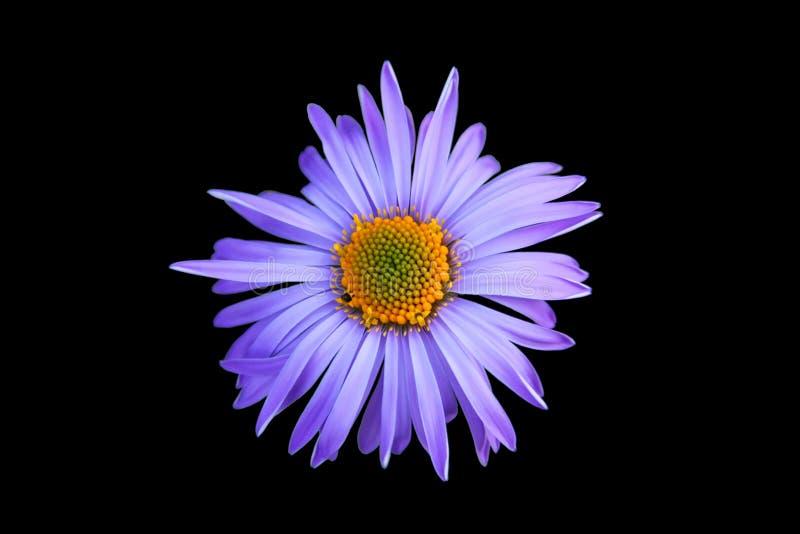 Fleur violette images libres de droits