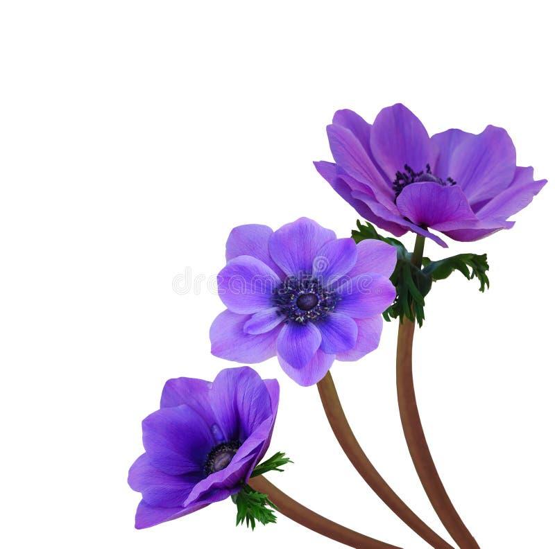 Fleur violette d 39 an mone photo stock image du centrale - Image fleur violette ...