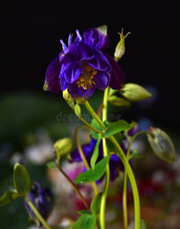 Fleur violette d'ancolie photos stock