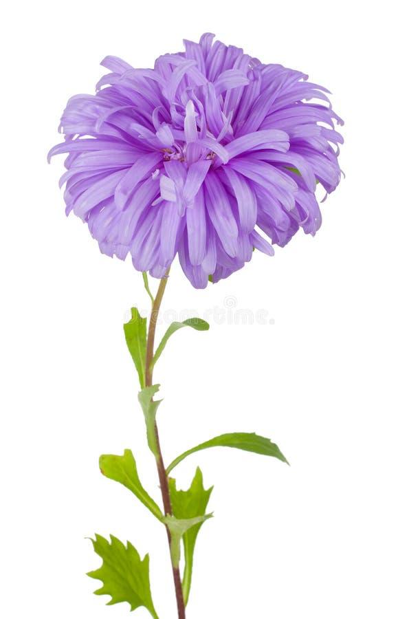 Fleur violette d'aster images libres de droits