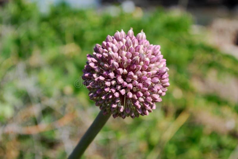 Fleur violette d'oignon images stock