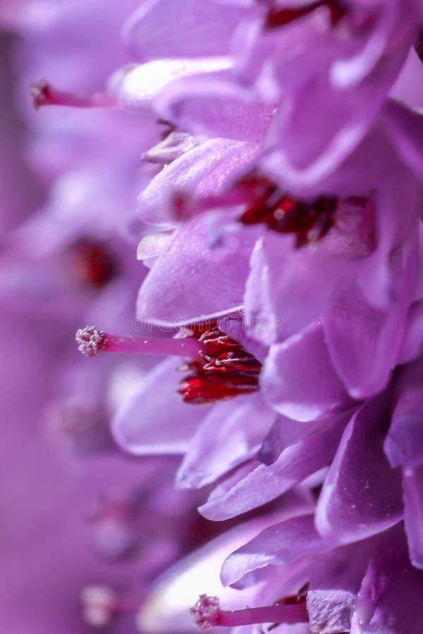 Fleur violette de bruyère photo libre de droits