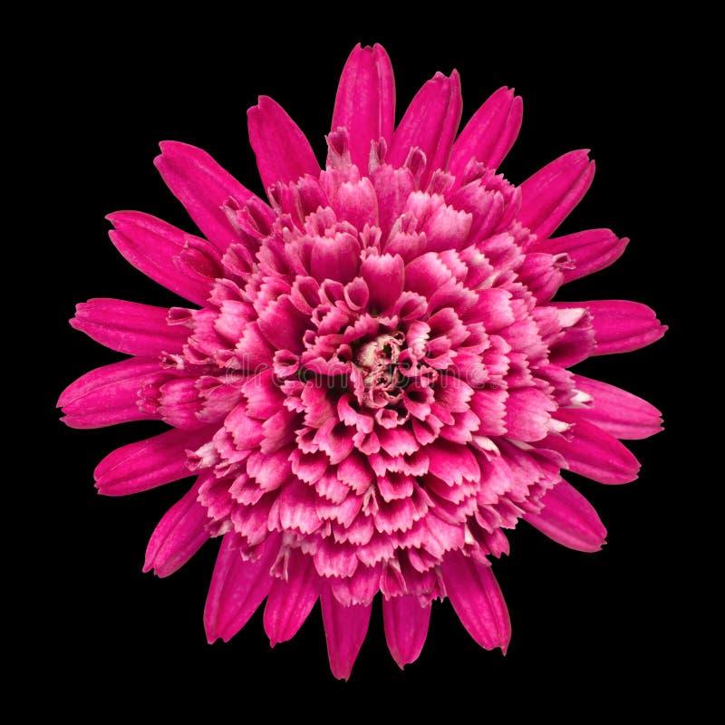 Fleur violette de chrysanthemum d'isolement sur le noir images stock