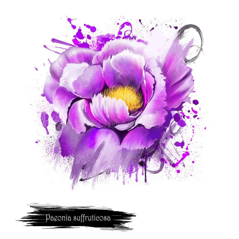 Fleur violette de pivoine d'aquarelle Suffruticosa de Paeonia illustration stock