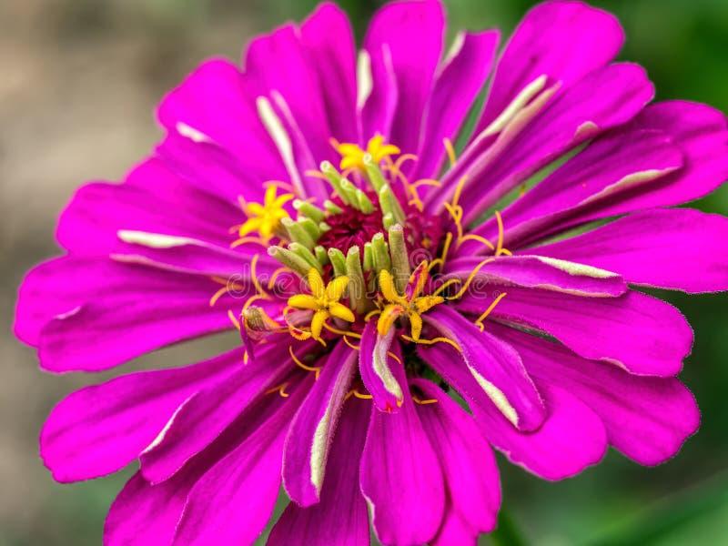 Fleur violette de zinnia photographie stock libre de droits