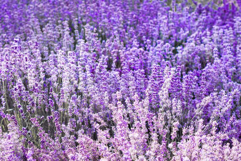 Fleur violette pourpre de lavande de couleur photo stock