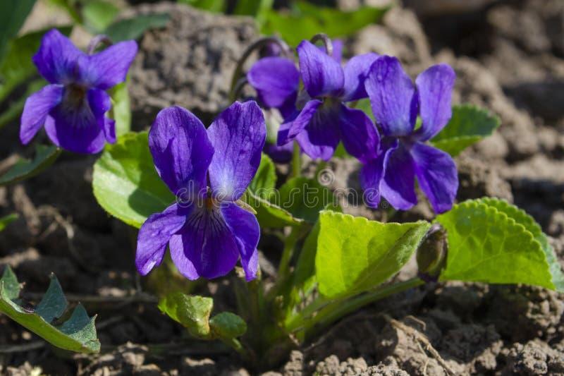 Fleur violette sauvage de floraison de lilas de photographie de nature de ressort photo stock
