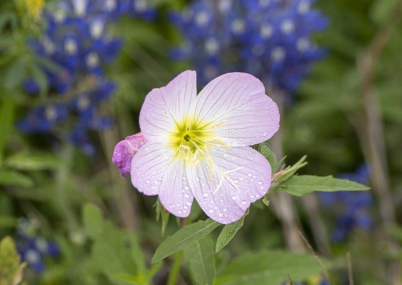 Fleur voyante d'oenothère biennale avec des gouttelettes d'eau le long de la traînée de Bluebonnet dans Ennis, le Texas images stock