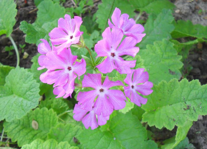 Fleur vulgaris de primevère de primevère Fleurs de primevère, vue supérieure photo libre de droits