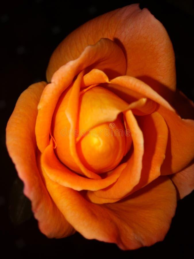 Fleure s'est levé photographie stock