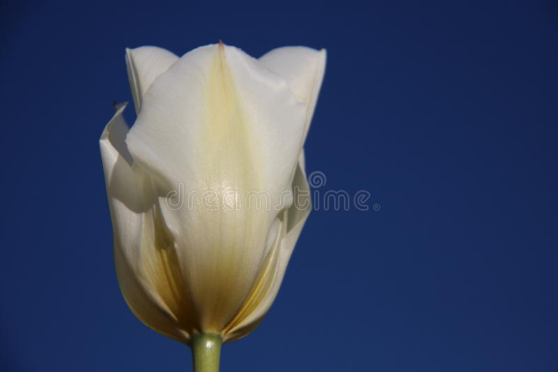 Fleurissent les tulipes blanches avec le ciel bleu d'indigo image libre de droits