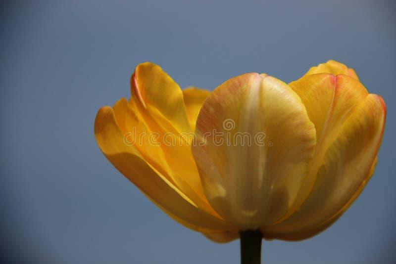 Fleurissent les tulipes jaunes avec des nuages de pluie image stock