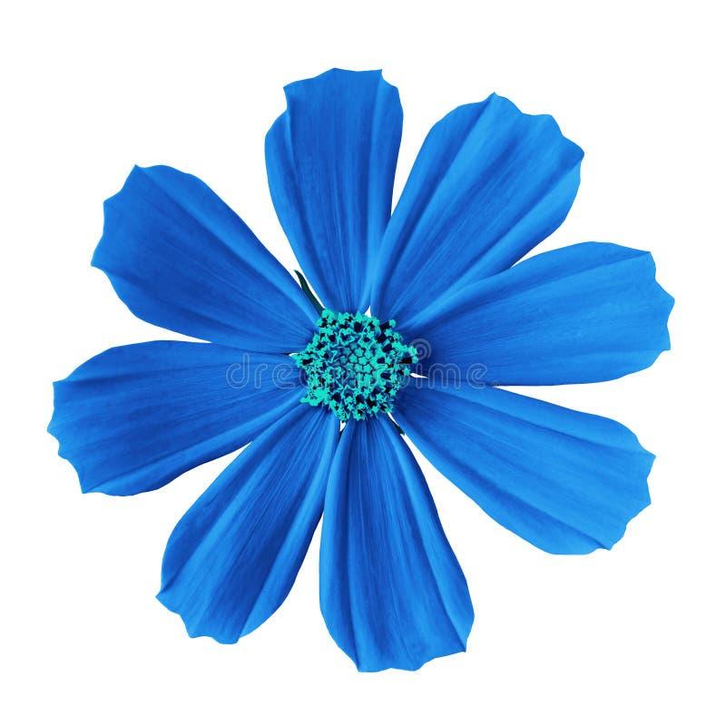 Fleurissez l'aster mexicain de cosmos cyan bleu, d'isolement sur un fond blanc Plan rapproché images libres de droits
