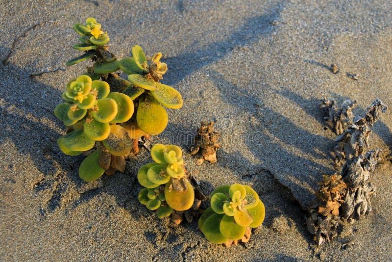 Fleurissez l'usine dans le désert, parc national Llanos De Challe, Atacama, Chili image libre de droits