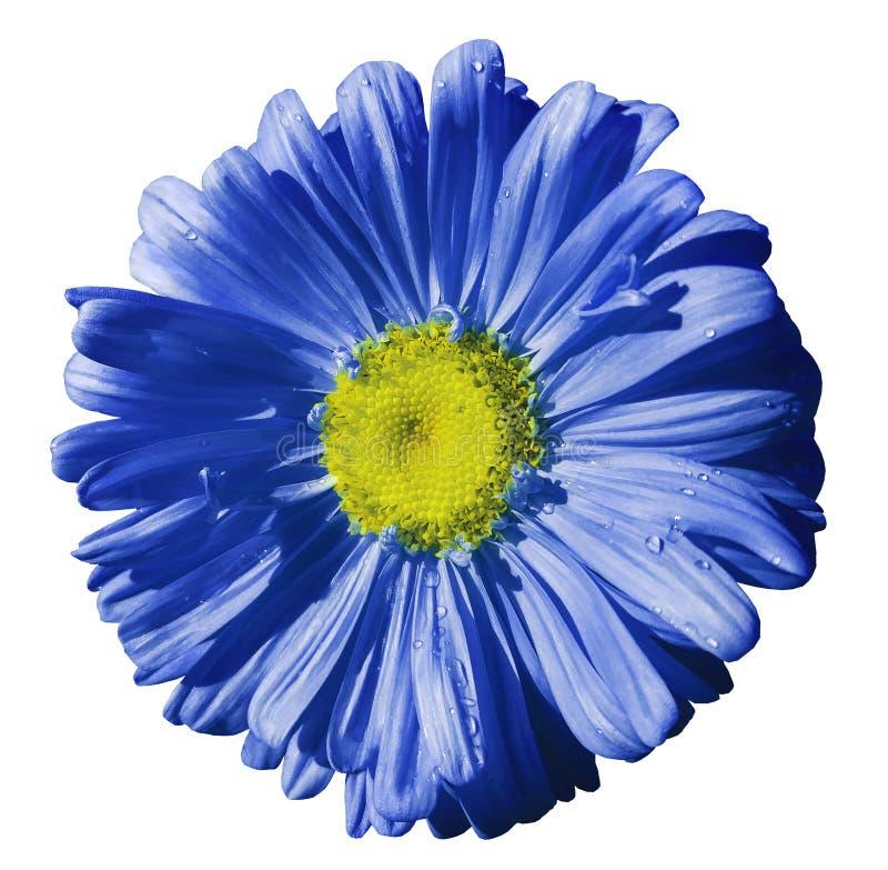 Fleurissez la camomille bleue sur le fond d'isolement par blanc avec le chemin de coupure Marguerite bleu-jaune avec des gouttele image libre de droits