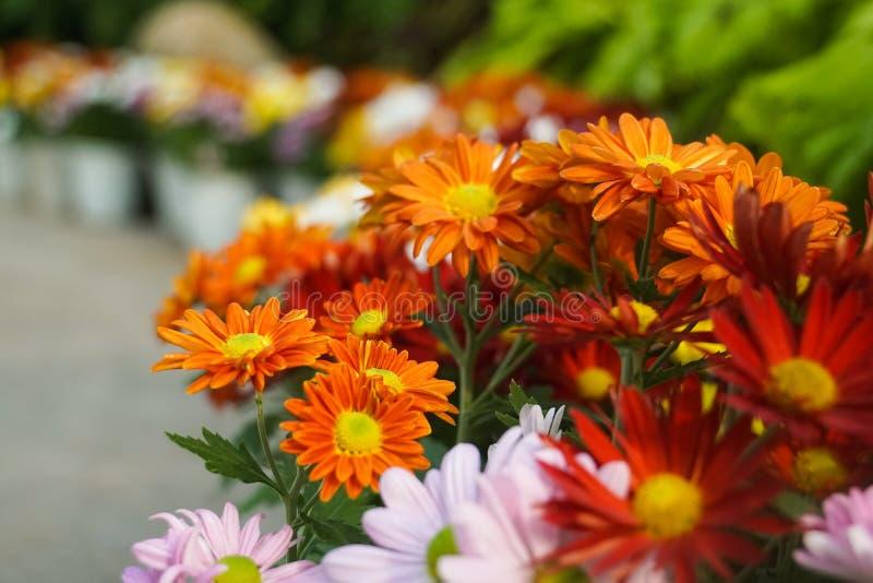 Fleurissez la marguerite blanche rose pourpre rouge jaune-orange colorée de marguerites de gerbera de chrysanthème image libre de droits