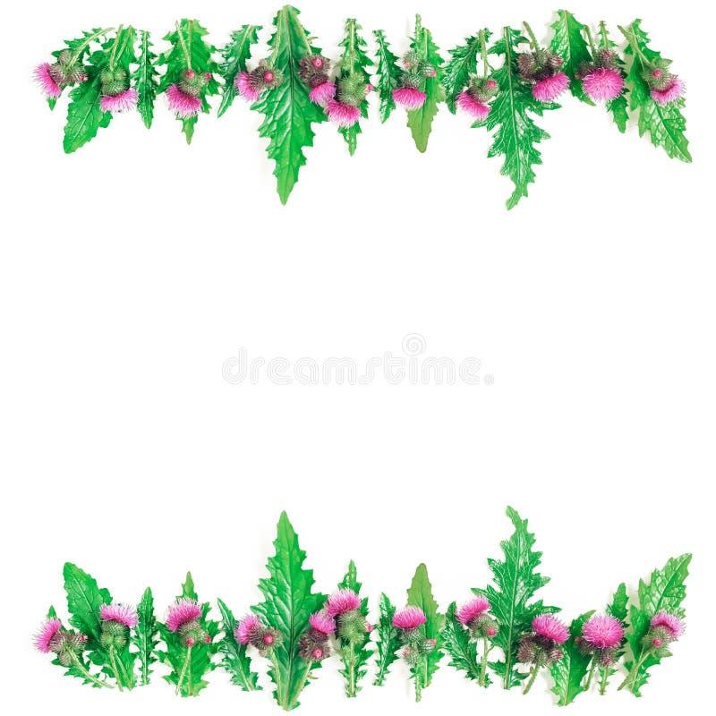 Fleurissez le cadre des rangées des feuilles et les brindilles et les épines vertes avec le flowe de floraison de chardon photos stock