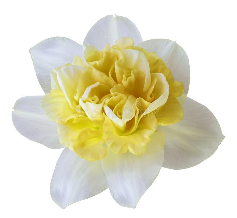 Fleurissez le narcisse blanc-jaune sur un fond d'isolement par blanc avec le chemin de coupure aucune ombres Plan rapproché pour  photos libres de droits