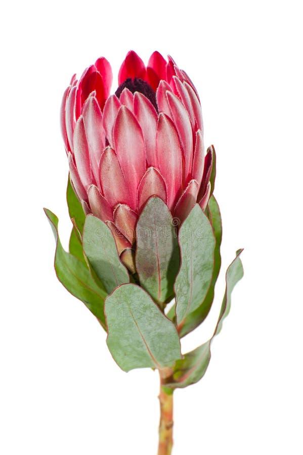 Fleurissez le plan rapproché de Protea sur un fond blanc propre images libres de droits