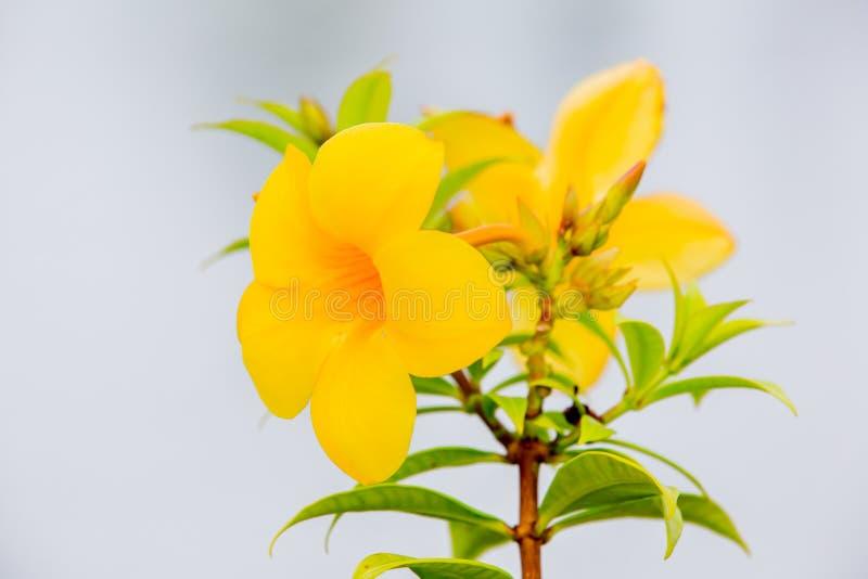 Fleurissez, vigne de trompette d'or, cloche jaune (le cathartica d'Allamanda) images libres de droits