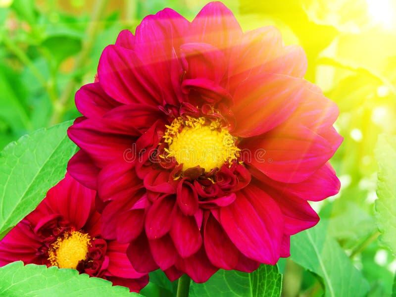 Fleurit des pivoines photo libre de droits