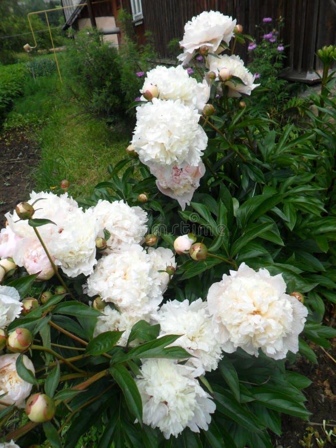 Fleurit des pivoines photos stock