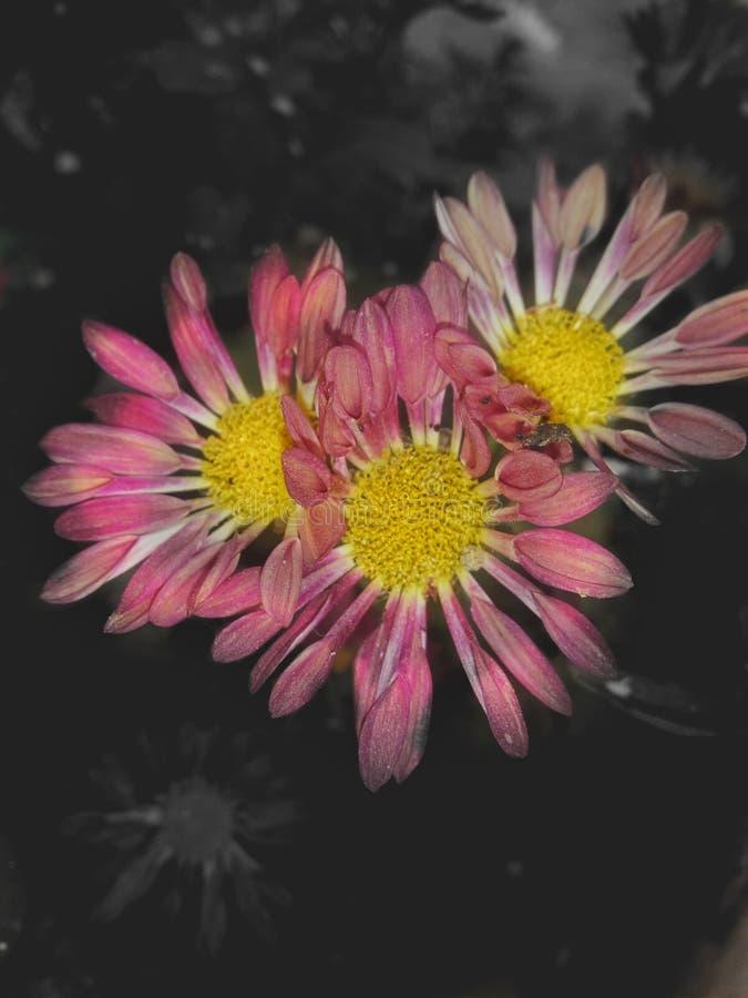 Fleurit des qualifications sélectives de photographie d'anujminz d'effet de couleur image libre de droits