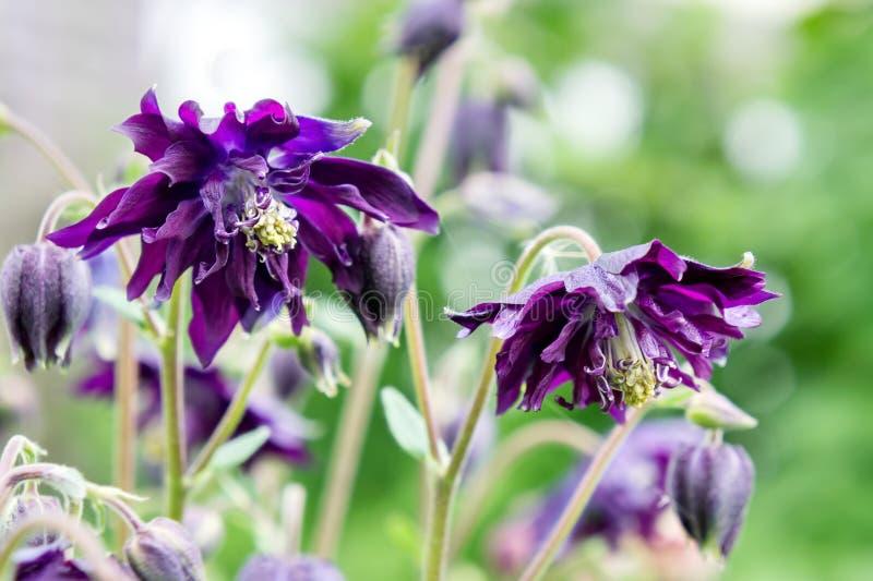 Fleurit l'ancolie bleue de Terry sur un fond vert pâle photographie stock