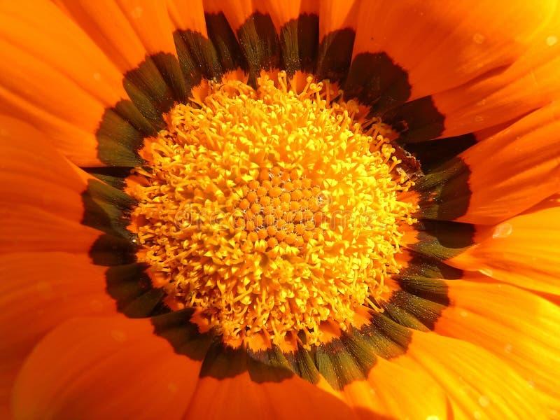 Fleurit l'orange photo libre de droits