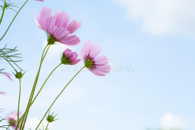 Fleurs roses. photo stock