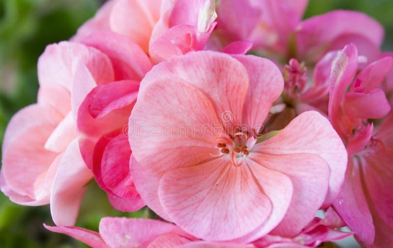 fleurit le rose de géranium photographie stock