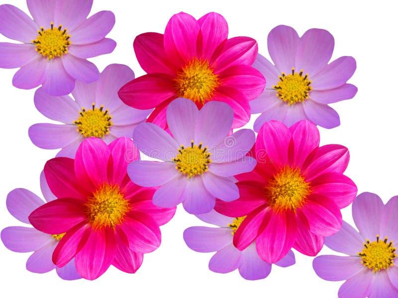 Fleurit les camomiles bleus rouges décoratifs images stock