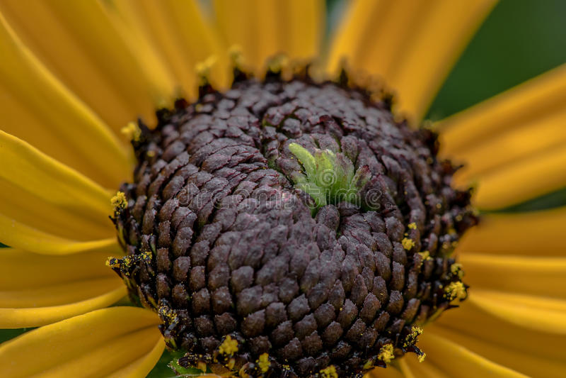 Fleurons d'oeil de Brown image stock