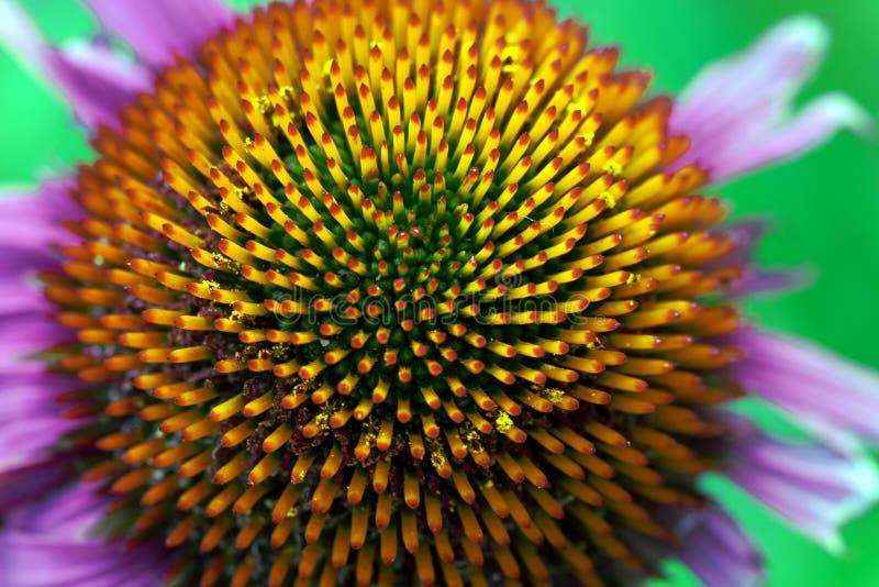 Fleurons de cône d'Echinacea image libre de droits